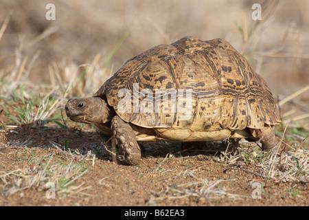Leopard Tortoise Geochelone pardalis - Stock Photo