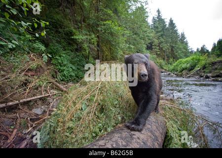 USA Alaska Kake Remote camera view of Black Bear Ursus americanus walking on fallen tree trunk while fishing for - Stock Photo