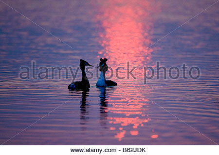 Netherlands Noord Holland Graveland Great Crested Grebes Podiceps cristatus courtshipping at sunset - Stock Photo