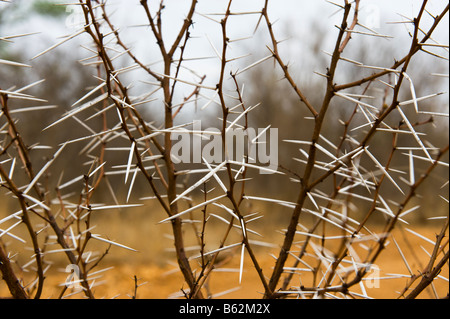 ACACIA long thorn needle spike hurt hurting thicket boscage coppice landscape south africa desert red dust dirt - Stock Photo