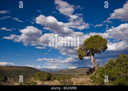 Juniper tree and sky, Black Canyon of the Gunnison National Park, Colorado. - Stock Photo