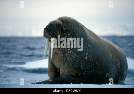 morse male Atlantic walrus on ice floe resting on ice floe the animal s skin flushes pink when warm to dissipate - Stock Photo