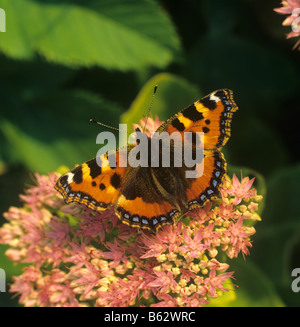 Small tortoiseshell butterfly Aglais urticae on Sedum spectabile flower in late afternoon light - Stock Photo