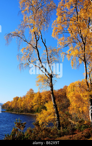 Silver Birch Trees in Autumn Perthshire Scotland UK - Stock Photo