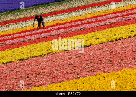 Netherlands Zuid Holland Lisse Worker working in the tulip field - Stock Photo