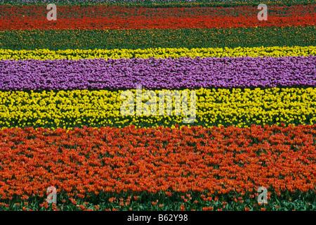 Netherlands Zuid Holland Lisse Tulip field - Stock Photo