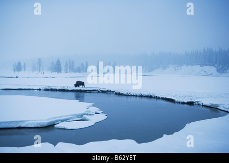 American bison (Bison bison) in snow covered landscape, Yellowstone National Park, Wyoming, USA - Stock Photo