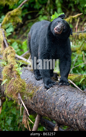 USA Alaska Kake Black Bear Ursus americanus standing balanced on log above Gunnuk Creek in early summer rain - Stock Photo