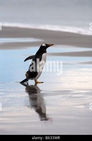 Gentoo Penguin (Pygoscelis papua) on beach, Sea Lion Island, Falkland Islands - Stock Photo