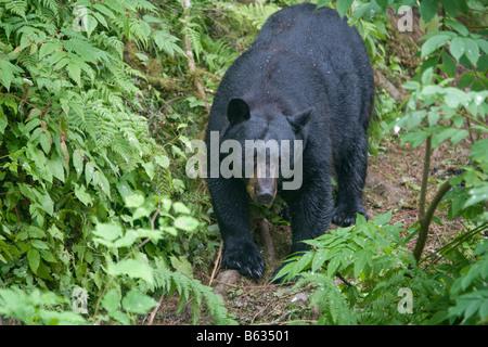 USA Alaska Kake Black Bear Ursus americanus walking on banks along Gunnuck Creek while hunting for spawning salmon - Stock Photo
