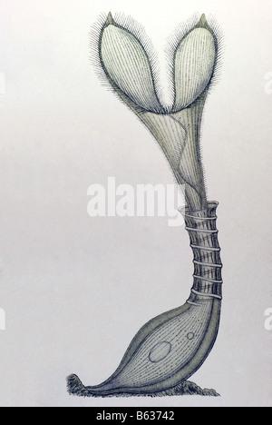 Ciliata / Wimperlinge, Name Stentor, Haeckel, Kunstformen der Natur, art nouveau, 20th century, Europe
