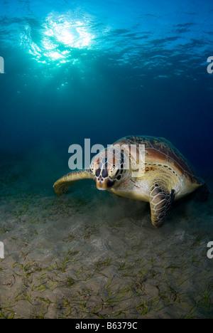 Green sea turtle, chelonia mydas, feeding on the sea grass. - Stock Photo