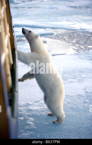 Curious polar bear leaning on ship in pack-ice - Stock Photo