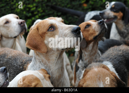 The Croome and West Warwickshire  Foxhounds at a  hunt meeting at Ragley Hall in Warwickshire - Stock Photo