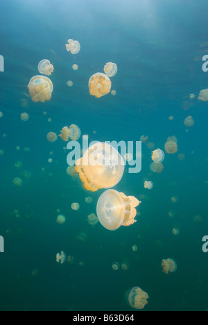 Jellyfish sparkle near the surface as the hills and sky reflect above in the famous Rock Islands of Palua. - Stock Photo