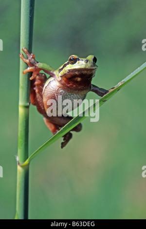 European Treefrog, Common Treefrog (Hyla arborea) climbing on reed - Stock Photo
