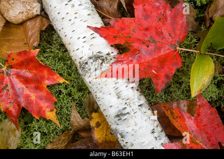 Fall leaves in White Mountain National Forest, New Hampshire, USA. - Stock Photo