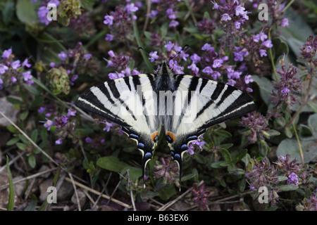 Segelfalter Edelfalter Iphiclides podalirius butterfly Scarce Swallowtail