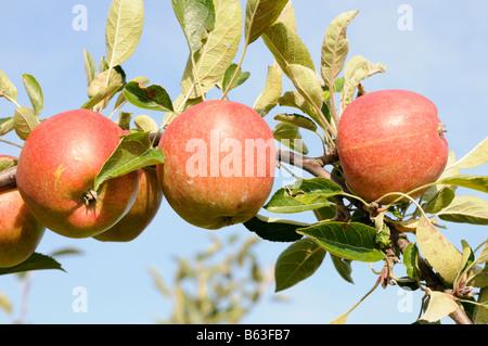 Reife Äpfel am Zweig Altes Land Niedersachsen Deutschland Ripe apples on a branch Altes Land Lower Saxony Germany - Stock Photo