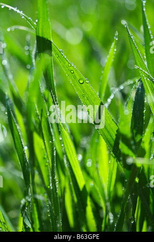 Grass with droplets. Triticum vulgare - Stock Photo