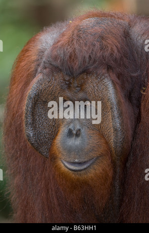 Male orangutan [Pongo pygmaeus] in Tanjung Puting NP Borneo - Stock Photo