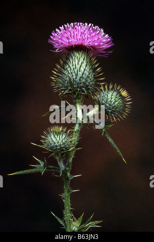 Bull Thistle (Cirsium vulgare), flower and buds against a dark background - Stock Photo