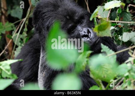 silverback Mountain Gorilla Gorilla Beringei staring cautiously in Parc Nationale des Volcans Rwanda - Stock Photo