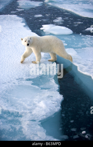 Polar bear on pack-ice - Stock Photo