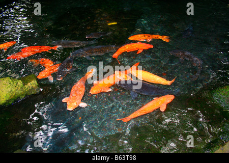Koi or gold fish in a pond with a water lily stock photo for Ornamental pond fish golden