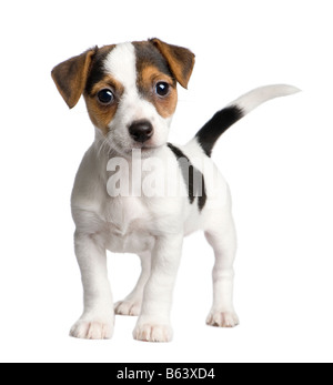 puppy Jack russell 8 weeks in front of a white background - Stock Photo