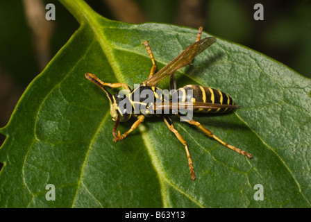 Polistes nimpha (paper wasp). Slovenia, August - Stock Photo