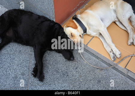 Let sleeping dogs lie two sleeping dogs - Stock Photo