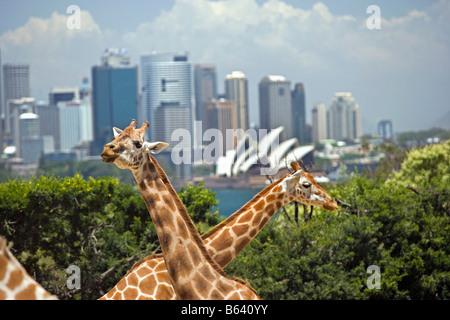 Australia, Giraffes. Background: Skyline Sydney and Opera House. - Stock Photo