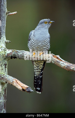 Finland, Kuikka Lake, near Kuhmo. Common Cuckoo (Cuculus canorus). - Stock Photo