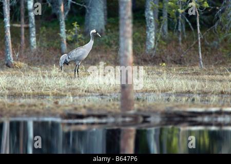 Finland, Kuikka Lake, near Kuhmo. Arcticmedia. Centre for tourism and wildlife photography, Common crane ( Grus - Stock Photo