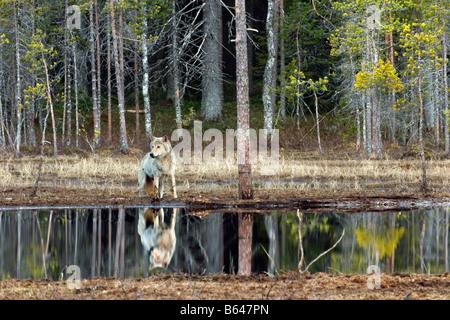 Finland, Kuikka Lake, near Kuhmo. Gray wolf (Canis lupus). - Stock Photo