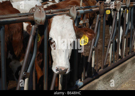 These year old dairy cows are a 3 way cross of Holstien Montbeliarde and Swedish Red - Stock Photo