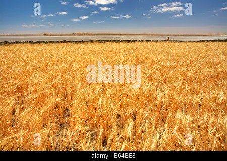 Narrung Wheat Field - Stock Photo