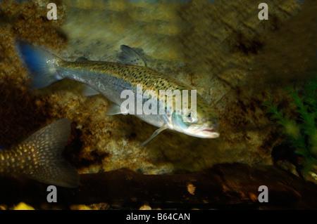 Atlantic salmon Salmo salar captive - Stock Photo