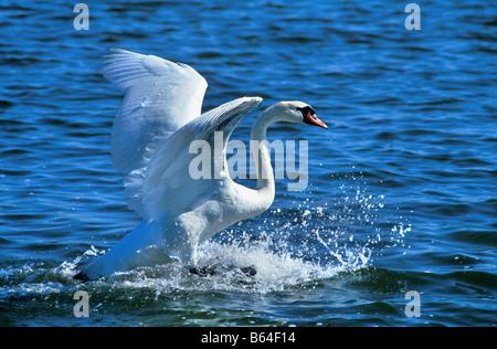 Holland, The Netherlands, Graveland. Mute swan (Cygnus olor). Landing. - Stock Photo