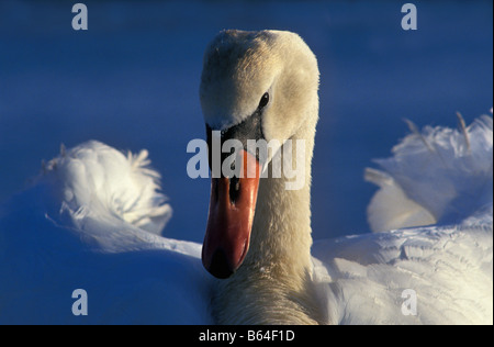Holland, The Netherlands, Graveland. Mute swan (Cygnus olor). Landing. - Stock Photo