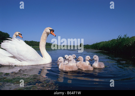 Holland, Noord-Holland, Graveland, Mute swans and young (Cygnus olor). - Stock Photo