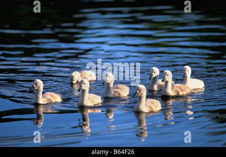 Holland, The Netherlands, Graveland. Young mute swans  (Cygnus olor). - Stock Photo