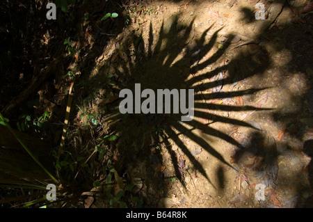 Fan Palm frond shaddow on the Reef Bay Trail St. John USVI - Stock Photo