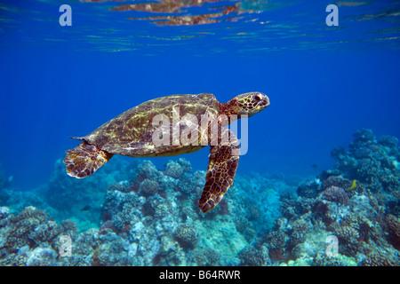 Green sea turtle swims in waters off Maui, Hawaii. - Stock Photo