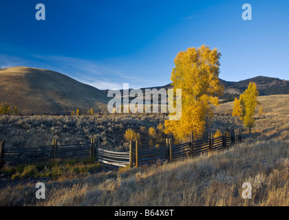 Yellowstone National Park WY: Fall colored cottonwood trees along the coral fence at Buffalo Ranch in the Lamar - Stock Photo