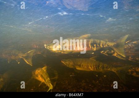 USA Alaska Kake Underwater view of Chum Salmon Oncorhynchus keta spawning in Gunnuck Creek - Stock Photo