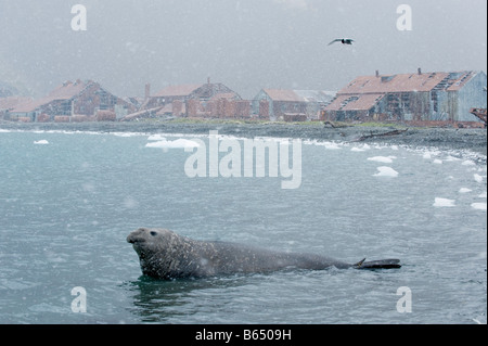 Southern Elephant Seal (Mirounga leonina) Male in falling snow, Stromness Whaling Station, South Georgia - Stock Photo