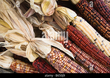 Indian corn on display at the 2008 Shenandoah Valley Hot Air Balloon and Wine Festival at Historic Long Branch in - Stock Photo