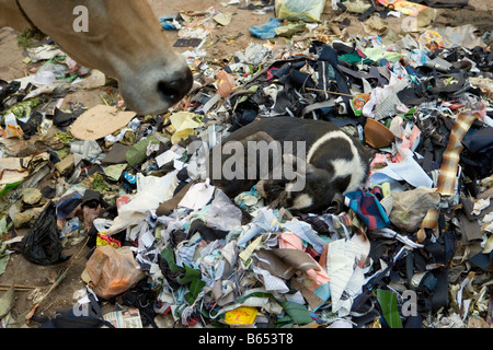India, Uttar Pradesh, Varanasi, Street scene. Dog sleeping in rubbish. Nose of holy cow. - Stock Photo